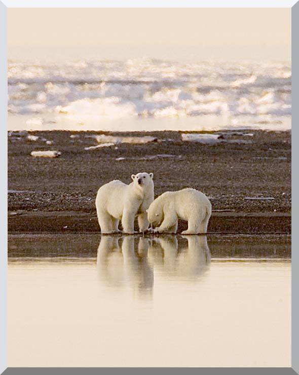 U S Fish and Wildlife Service Polar Bears stretched canvas art print