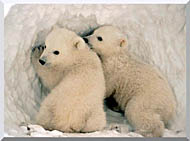 U S Fish And Wildlife Service Polar Bear Cubs stretched canvas art