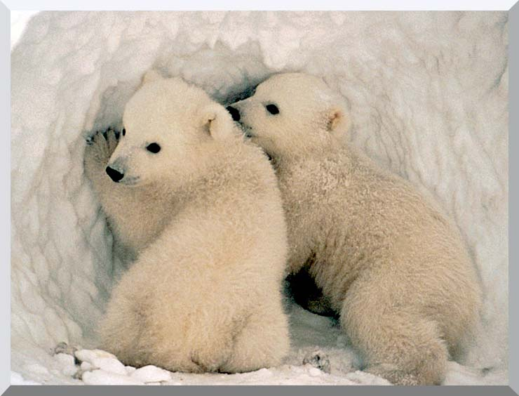 U S Fish and Wildlife Service Polar Bear Cubs stretched canvas art print