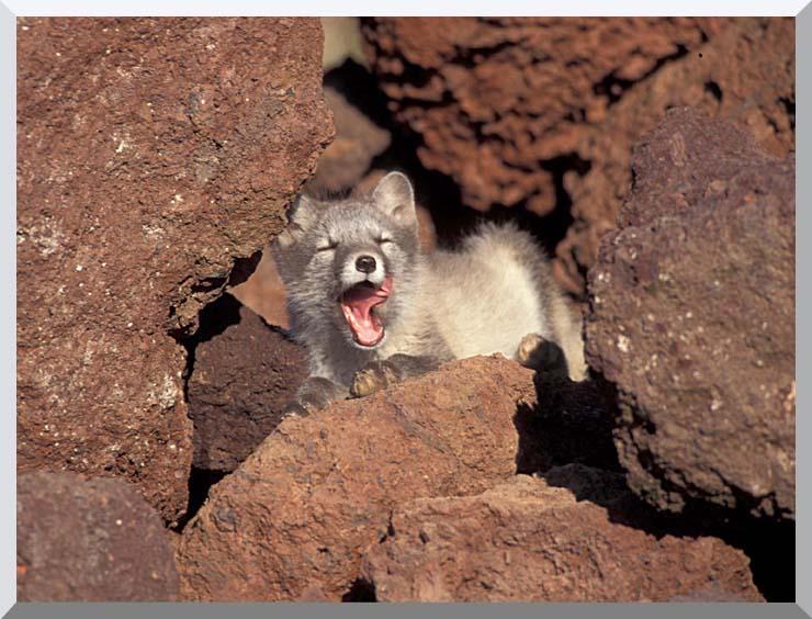 U S Fish and Wildlife Service Arctic Fox stretched canvas art print