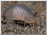 U S Fish And Wildlife Service Armadillo stretched canvas art