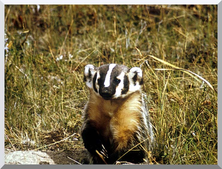 U S Fish and Wildlife Service Badger stretched canvas art print