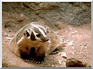 U S Fish And Wildlife Service Badger Art stretched canvas art