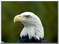 U S Fish And Wildlife Service U S A Bald Eagle stretched canvas art