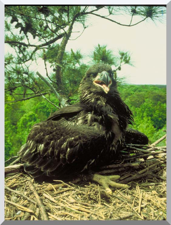 U S Fish and Wildlife Service Bald Eagle Chick stretched canvas art print