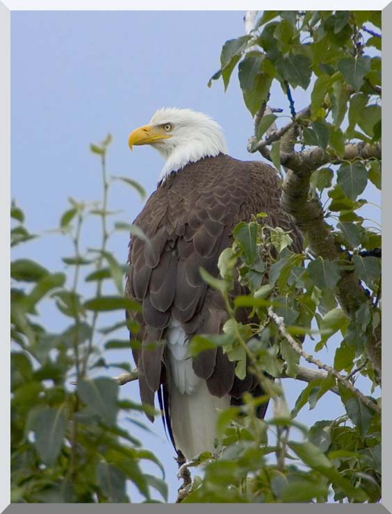 U S Fish and Wildlife Service Bald Eagle on Tree Branch stretched canvas art print