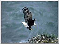 U S Fish And Wildlife Service Bald Eagle Landing On Nest stretched canvas art