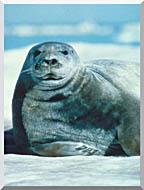 U S Fish And Wildlife Service Bearded Seal stretched canvas art