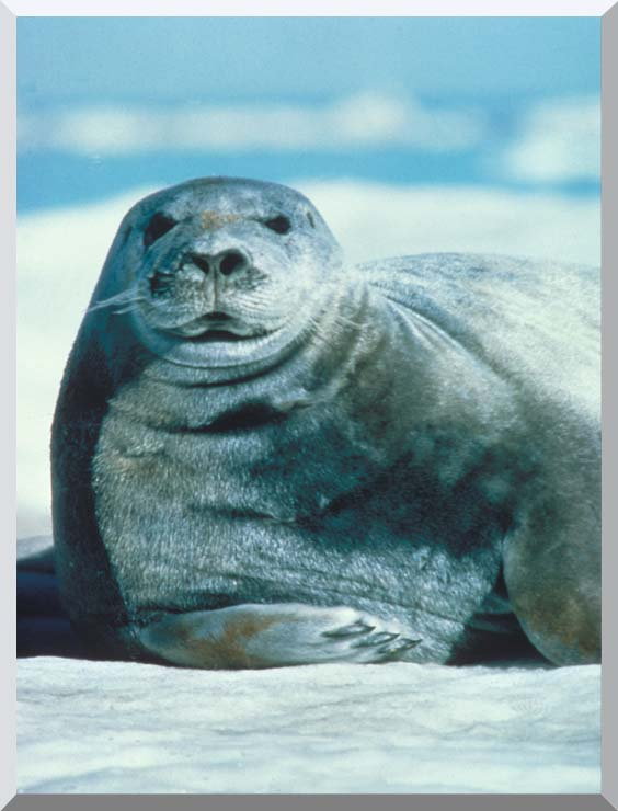 U S Fish and Wildlife Service Bearded Seal stretched canvas art print