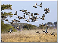 U S Fish And Wildlife Service Flock Of Waterfowl stretched canvas art