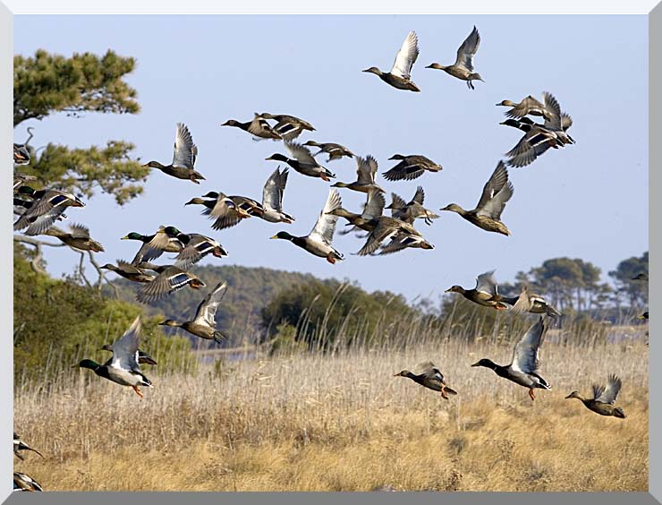 U S Fish and Wildlife Service Flock of Waterfowl stretched canvas art print