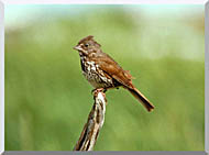 U S Fish And Wildlife Service Fox Sparrow stretched canvas art