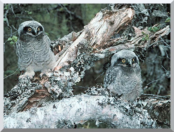 U S Fish and Wildlife Service Northern Hawk Owl Chicks stretched canvas art print