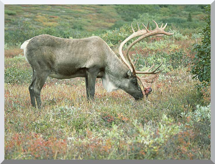 U S Fish and Wildlife Service Caribou stretched canvas art print