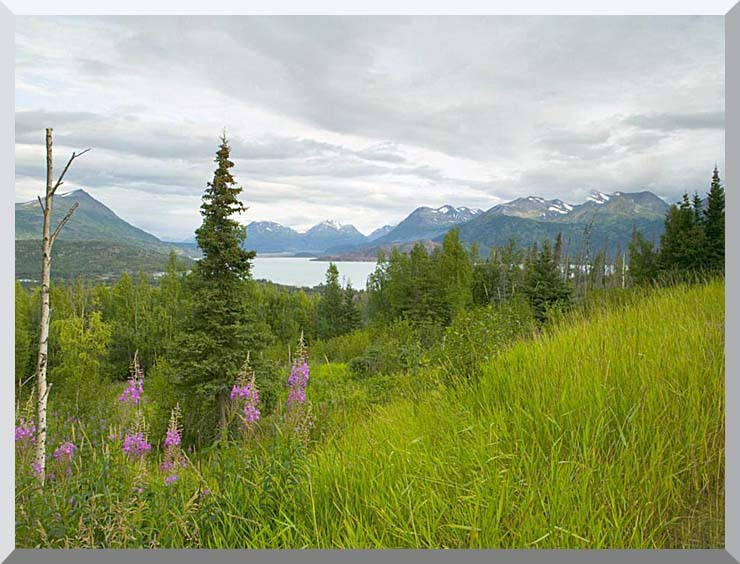 U S Fish and Wildlife Service Hillside with Fireweed stretched canvas art print