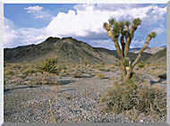 U S Fish And Wildlife Service Joshua Tree In The Desert stretched canvas art