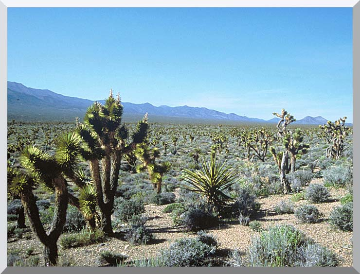 U S Fish and Wildlife Service Yucca Forest stretched canvas art print