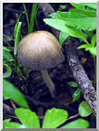 U S Fish And Wildlife Service Mica Cap Mushroom stretched canvas art
