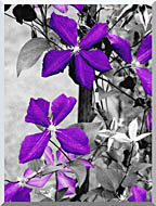 Ray Porter Purple Passion Black And White With Color stretched canvas art