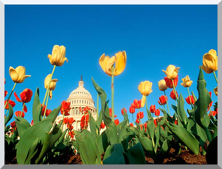 Visions of America Tulips in Spring with U S Capitol Building stretched canvas art print