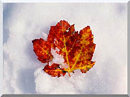Visions of America Red Maple Leaf In Snow Acadia National Park Maine stretched canvas art