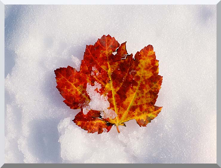Visions of America Red Maple Leaf in Snow, Acadia National Park, Maine stretched canvas art print