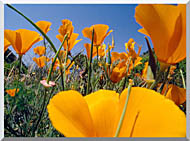 Visions of America Close Up Of California Poppies Blooming In Springtime stretched canvas art
