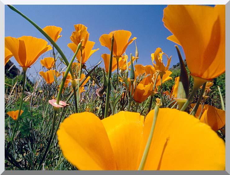 Visions of America Close-up Of California Poppies Blooming In Springtime stretched canvas art print