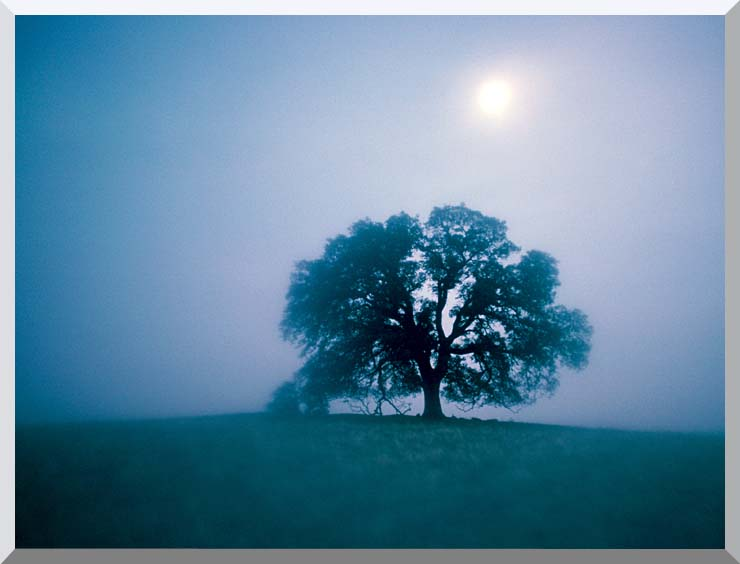 Visions of America Solitary Oak Tree on a Misty Morning, California stretched canvas art print