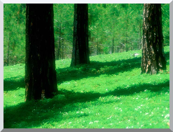 Visions of America Forest Floor at El Dorado National Forest, California stretched canvas art print