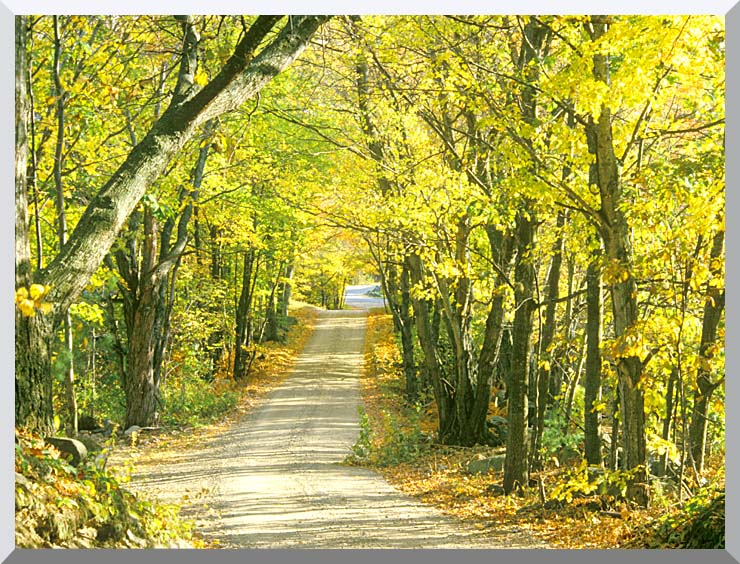 Visions of America Tree Covered Road in the Woods, New England stretched canvas art print