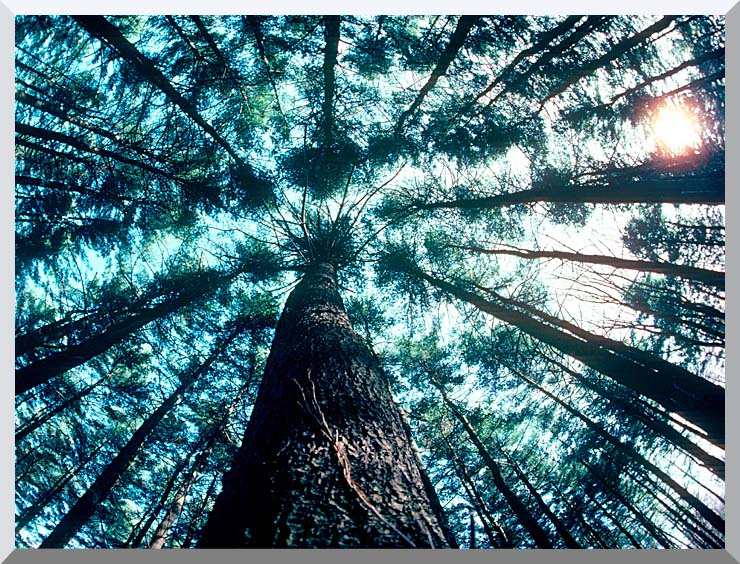 Visions of America Trees in Forest, Saratoga, New York stretched canvas art print