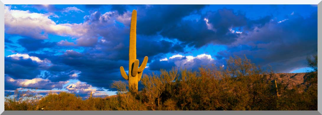 Visions of America Saguaro National Park West with Cactus stretched canvas art print