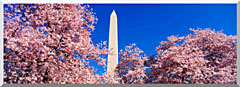 Visions of America Washington Monument And Cherry Trees In Bloom stretched canvas art