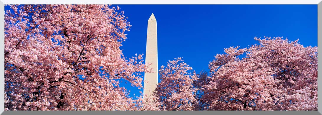 Visions of America Washington Monument and Cherry Trees in Bloom stretched canvas art print