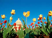 Visions of America Tulips in Spring with U S Capitol Building