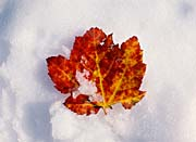 Visions of America Red Maple Leaf in Snow, Acadia National Park, Maine