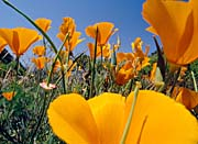 Visions of America Close-up Of California Poppies Blooming In Springtime