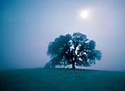 Visions of America Solitary Oak Tree on a Misty Morning, California