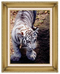 Brandie Newmon White Tiger Cub Exploring canvas with gallery gold wood frame