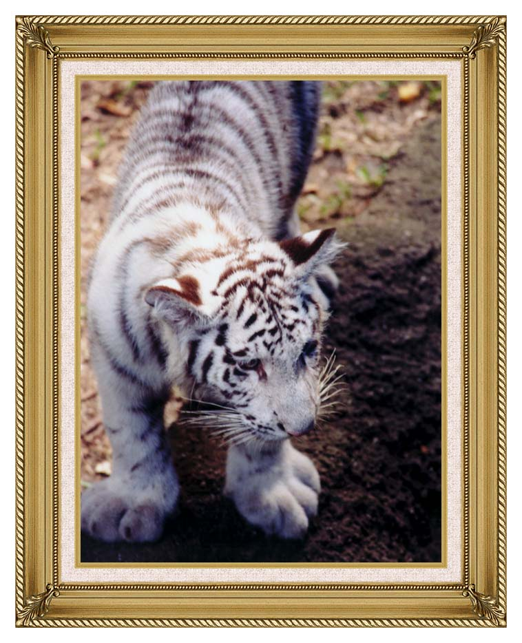 Brandie Newmon White Tiger Cub Exploring with Gallery Gold Frame w/Liner