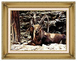 Brandie Newmon Ibex   Wild Goats canvas with gallery gold wood frame