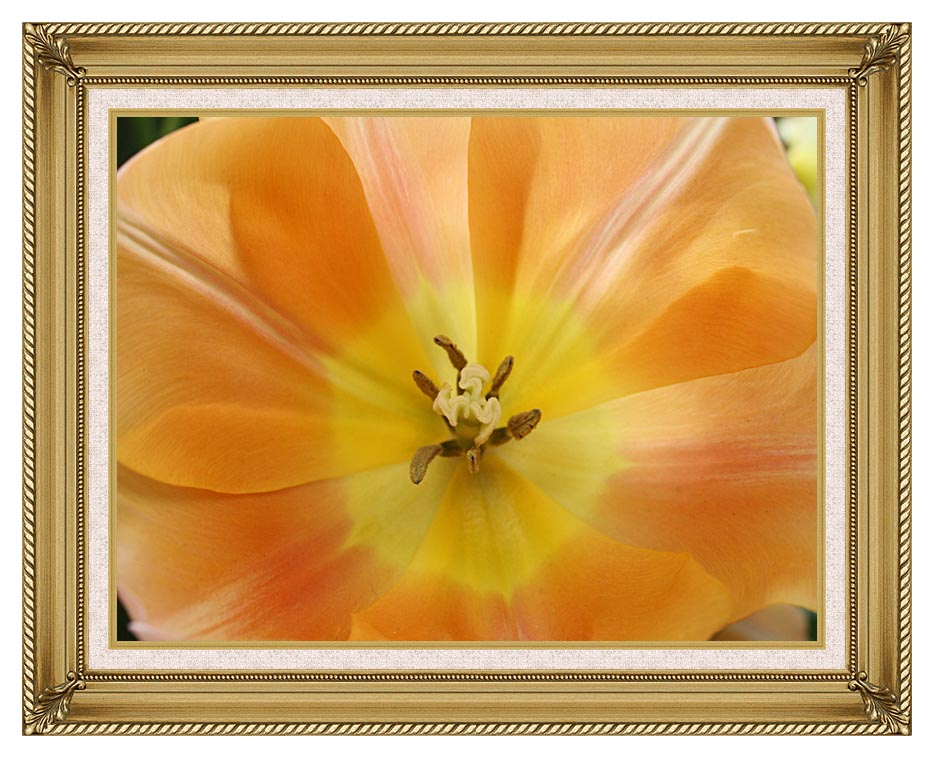 Kim O'Leary Photography Beautiful Orange Tulip with Gallery Gold Frame w/Liner