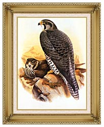 John Gould Gyrfalcon canvas with gallery gold wood frame