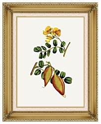 William Curtis Bladder Senna canvas with gallery gold wood frame