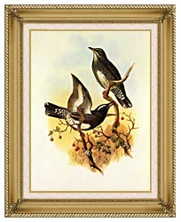 John Gould Siberian Thrush canvas with gallery gold wood frame