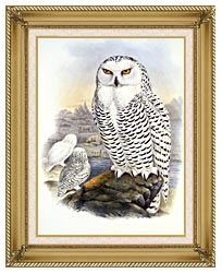John Gould Snowy Owl canvas with gallery gold wood frame
