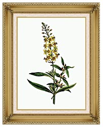 William Curtis Bulb Bearing Loosestrife canvas with gallery gold wood frame