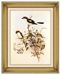 John Gould Woodchat Shrike canvas with gallery gold wood frame