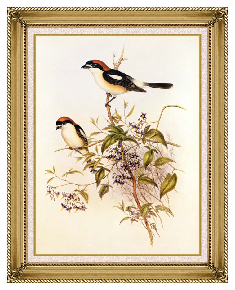 John Gould Woodchat Shrike with Gallery Gold Frame w/Liner